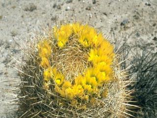 Barrel Cactus Ferocactus cylindraceus