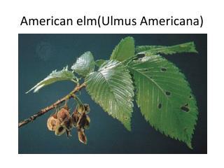 American elm(Ulmus Americana)