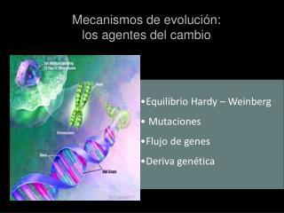 Equilibrio Hardy – Weinberg  Mutaciones Flujo de genes Deriva genética