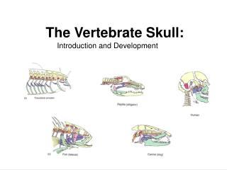 The Vertebrate Skull: