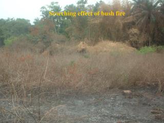 Scorching effect of bush fire