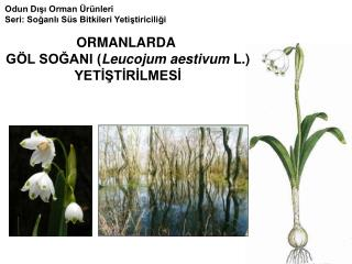 Odun Dışı Orman Ürünleri Seri: Soğanlı Süs Bitkileri Yetiştiriciliği