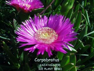 Carpobrotus