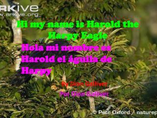 Hi my name is Harold the Harpy Eagle