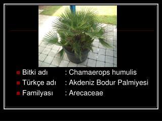 Bitki adı: Chamaerops humulis Türkçe adı: Akdeniz Bodur Palmiyesi Familyası: Arecaceae