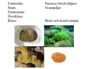 Underrike: Eumetazoa (äkta djur) Stam:Cnidaria (nässeldjur)