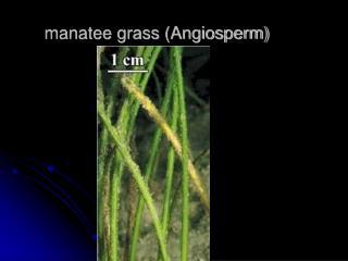 manatee grass (Angiosperm)