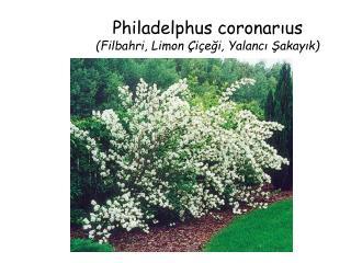Philadelphus coronarıus (Filbahri, Limon Çiçeği, Yalancı Şakayık)