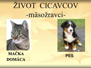 IVOT  CICAVCOV -m so ravci-