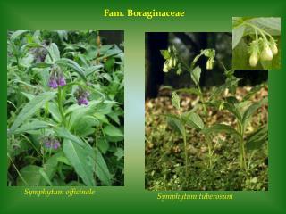 Fam. Boraginaceae