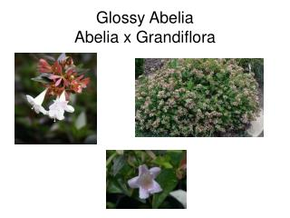 Glossy Abelia Abelia x Grandiflora