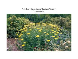 Achillea filipendulina 'Parkers Variety' Duizendblad