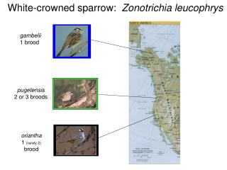 White-crowned sparrow:   Zonotrichia leucophrys