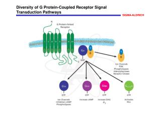 Diversity of G Protein-Coupled Receptor Signal Transduction Pathways