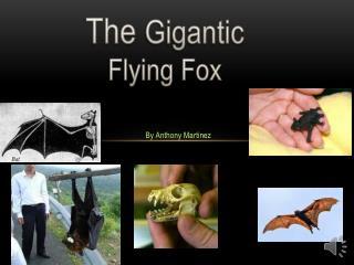The  Gigantic Flying Fox