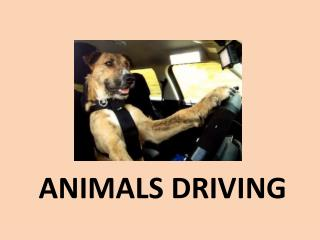 ANIMALS DRIVING