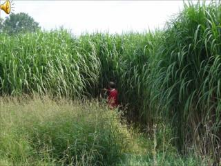 NEW METHOD in the field of  Miscanthus  propagation for  ethanol and power production
