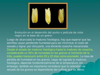 Evoluci n en el desarrollo del punto o pel cula de color negro en la base de un grano.