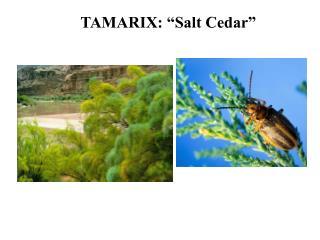 "TAMARIX: ""Salt Cedar"""