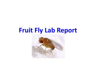Fruit Fly Lab Report