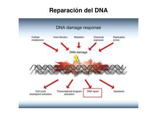 Reparaci�n del DNA