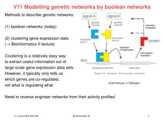 V11 Modelling genetic networks by boolean networks