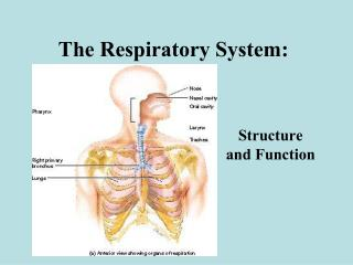 The Respiratory System: