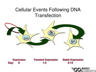 Cellular Events Following DNA Transfection