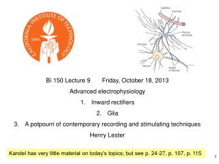 Bi 150 Lecture 9       Friday, October 18, 2013 Advanced electrophysiology Inward rectifiers Glia