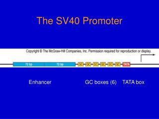 The SV40 Promoter
