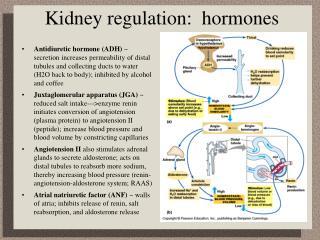 Kidney regulation:  hormones