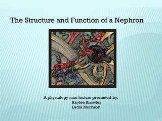 The Structure and Function of a Nephron