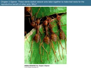 Figure 2.1  A group of worker termites escorted by a single large soldier back to their colony