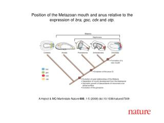 A Hejnol & MQ Martindale Nature 000 , 1-5 (2008) doi:10.1038/nature07 309