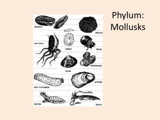 Phylum:  Mollusks