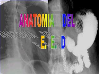 ANATOMIA    DEL       E.  E.  D