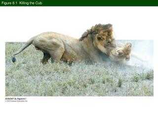 Figure 8.1  Killing the Cub