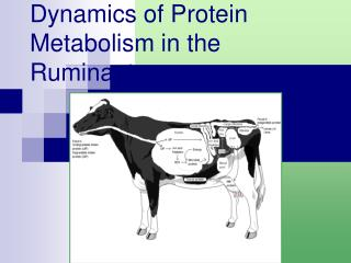 Dynamics of Protein Metabolism in the Ruminant