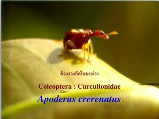 Apoderus crerenatus