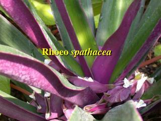 Rhoeo spathacea