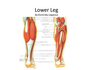 Lower Leg  By:Dominika Legatova
