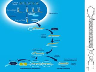 MicroRNA signatures in human cancers George A. Calin and Carlo M. Croce