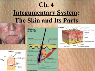 Ch. 4   Integumentary System :   The Skin and Its Parts