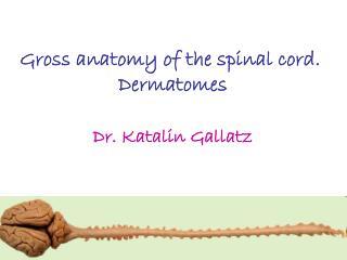 Gross anatomy of the spinal cord.  Dermatomes Dr. Katalin Gallatz