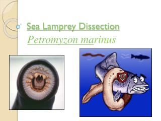 Sea Lamprey Dissection