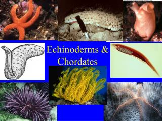 Echinoderms & Chordates