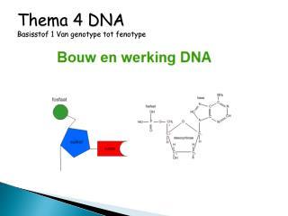 Thema 4 DNA Basisstof 1  Van genotype tot fenotype