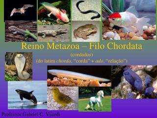 """Reino Metazoa – Filo Chordata (cordados) (do latim  chorda , """"corda"""" +  ado , """"relação"""")"""