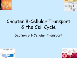 Chapter 8-Cellular Transport & the Cell Cycle