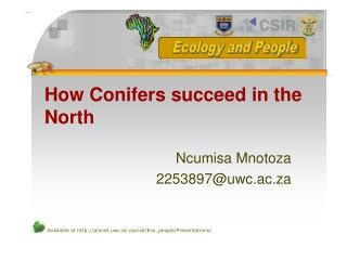 How Conifers succeed in the North